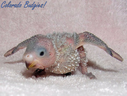 Budgie Growth Stages - PET BUDGIE 12450